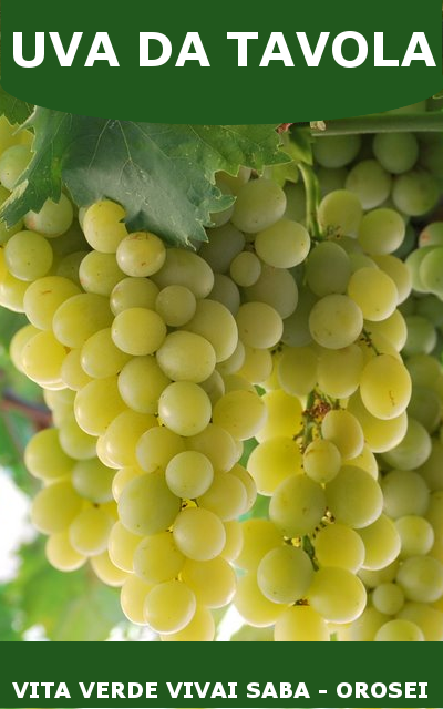 Uva da tavola viti innestate in vaso 10 - Piante uva da tavola ...