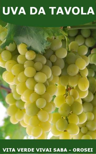 Viti in vaso vita verde vivai web market - Vivai rauscedo uva da tavola ...