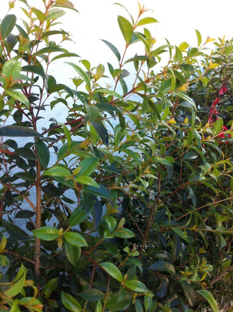 siepe eugenia myrtifolia newport mt 25
