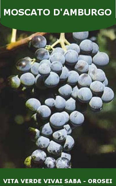 Uva da tavola viti innestate in vaso 15 - Piante uva da tavola ...