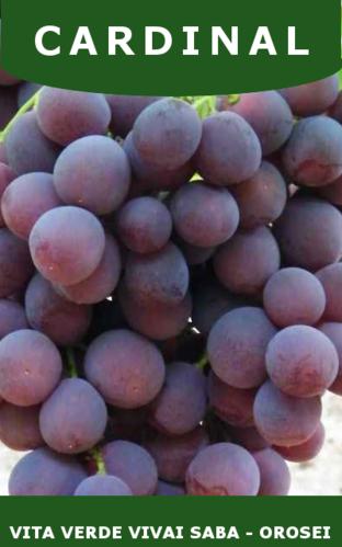 Barbatelle uva da tavola vita verde vivai web market - Vivai uva da tavola ...