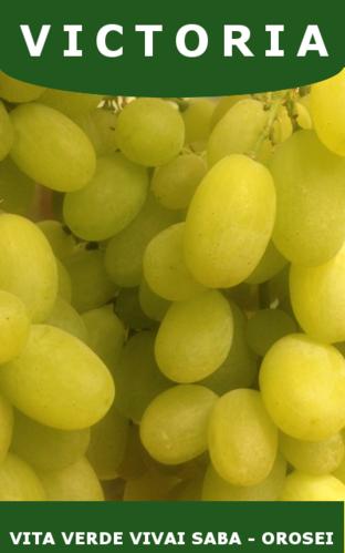Barbatelle uva da tavola vita verde vivai web market - Vivai rauscedo uva da tavola ...