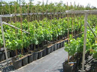 Viti innestate vita verde vivai web market for Barbatelle di vite